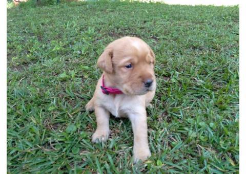 AKC Registered Fox Red Lab Puppies